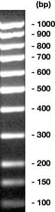 100 bp-DNA-Ladder equimolar