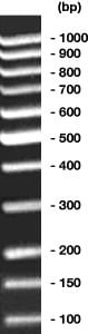 100 bp-DNA-Ladder equalized