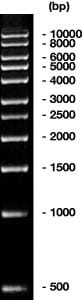 1 kbp DNA-Ladder